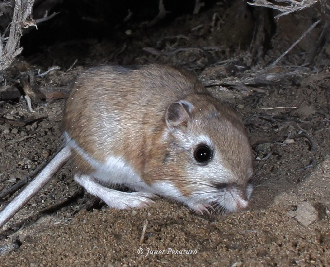 Kangaroo Rat Tracks Trails And Scat Winterberry Wildlife