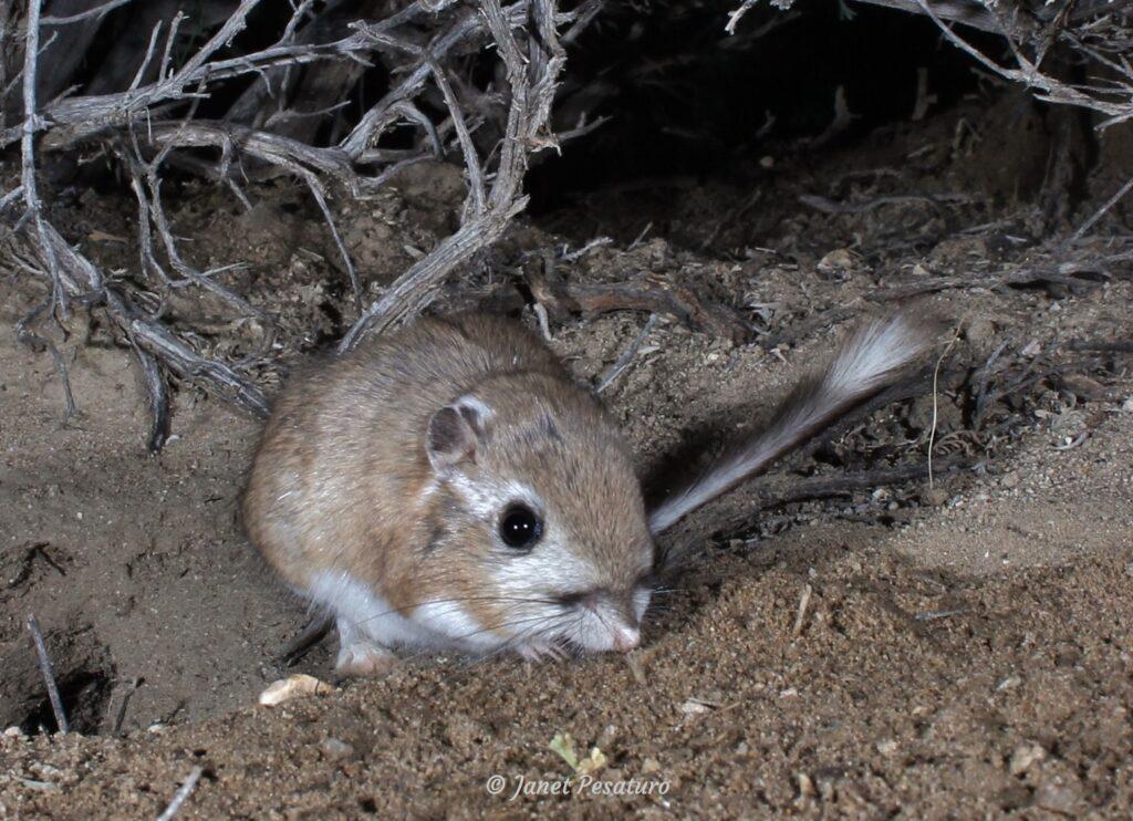Kangaroo Rat Burrows Winterberry Wildlife
